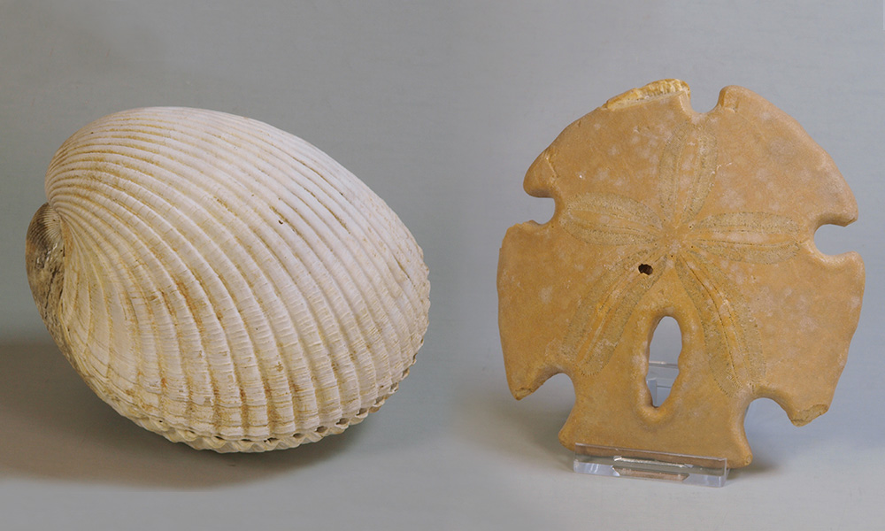 fossil pelecypod shell and sand dollar